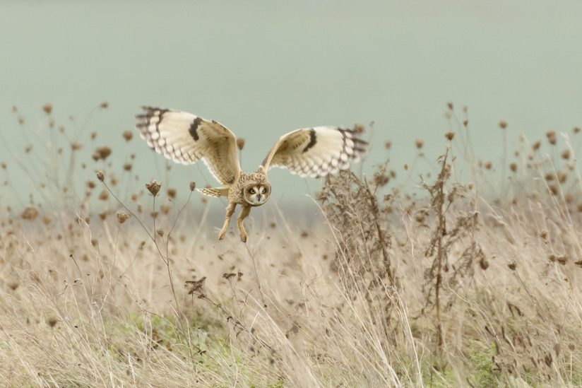 Short Eared Owl Hunting (Asio Flammeus)