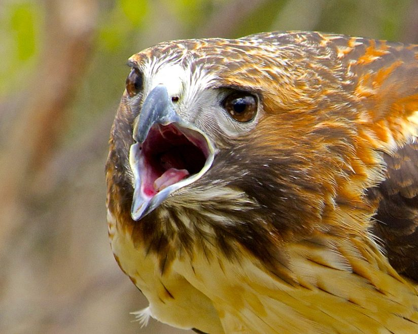 Scolding Red Tailed Hawk