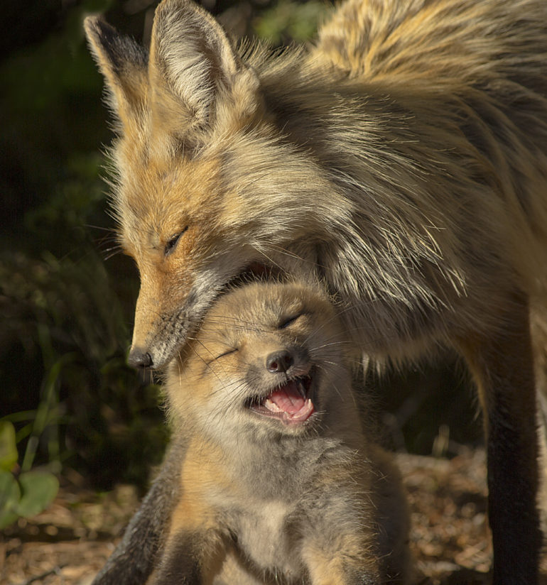 Mother Fox & Young