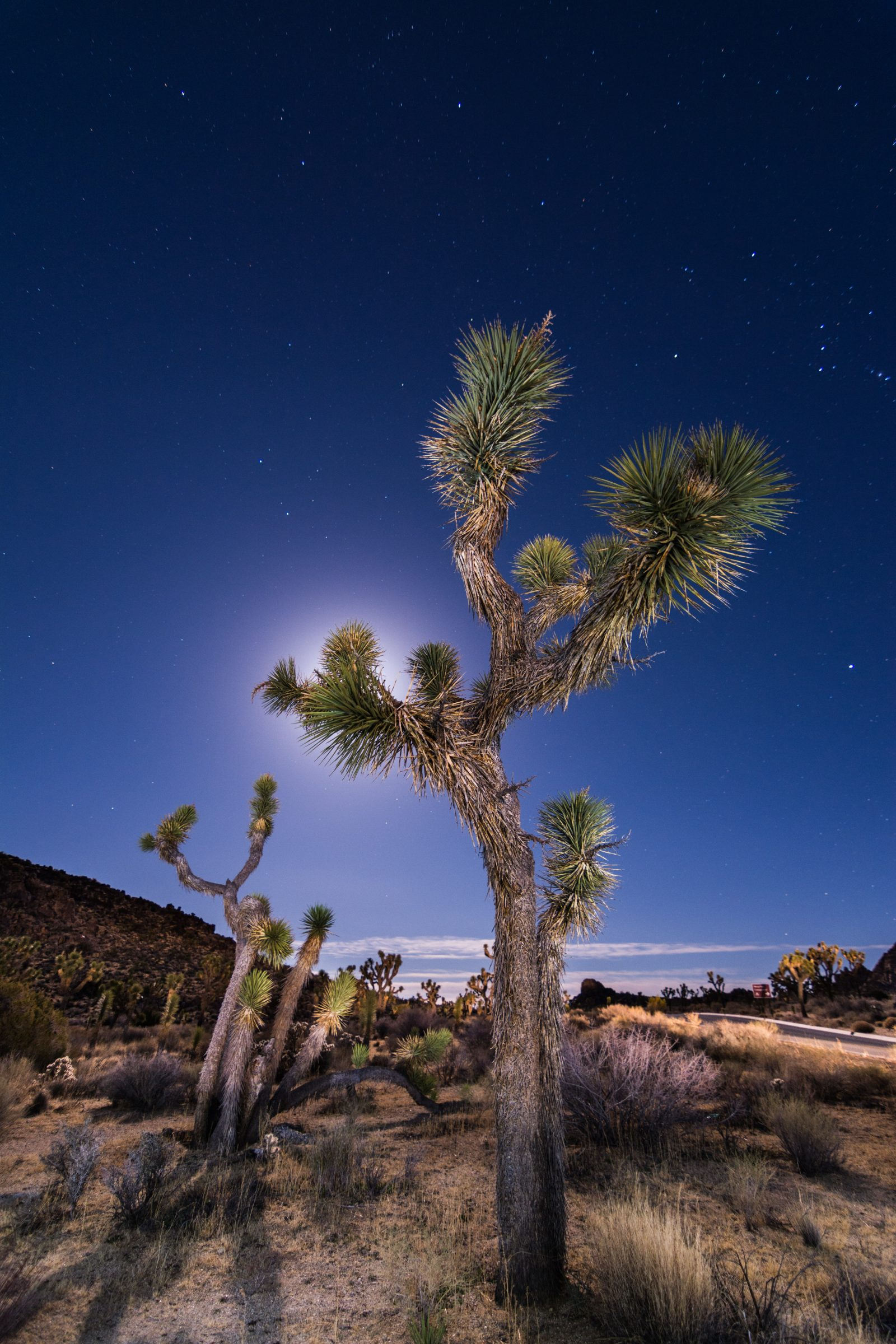 Full Moon Behind a Joshua Tree