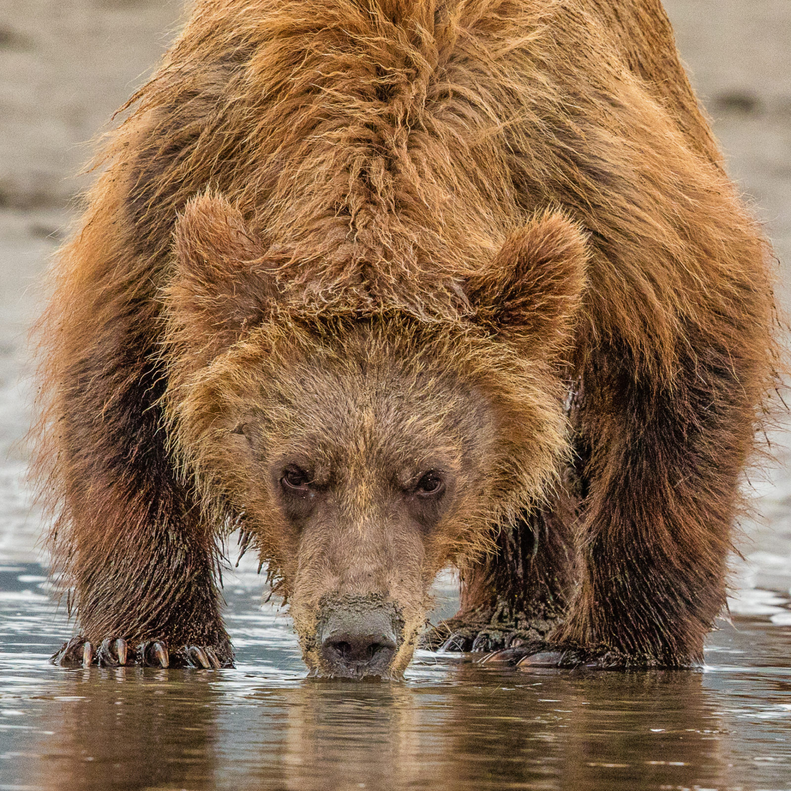 Grizzly Stare Down