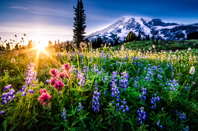 Mt Rainier Wildflowers at Sunset