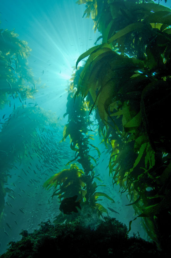 Kelp Forest on a Sunny Day in California