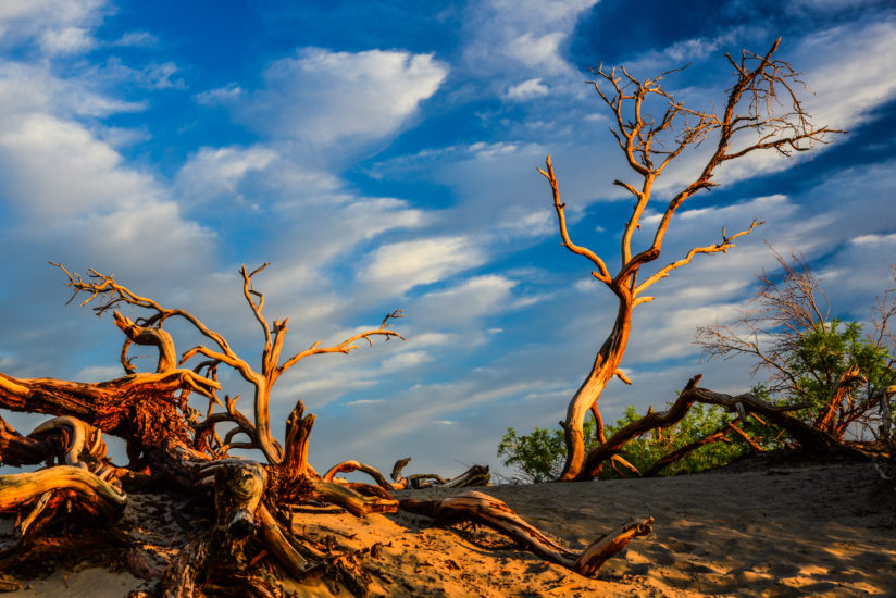 Early Light On Weathered Tree – Death Valley