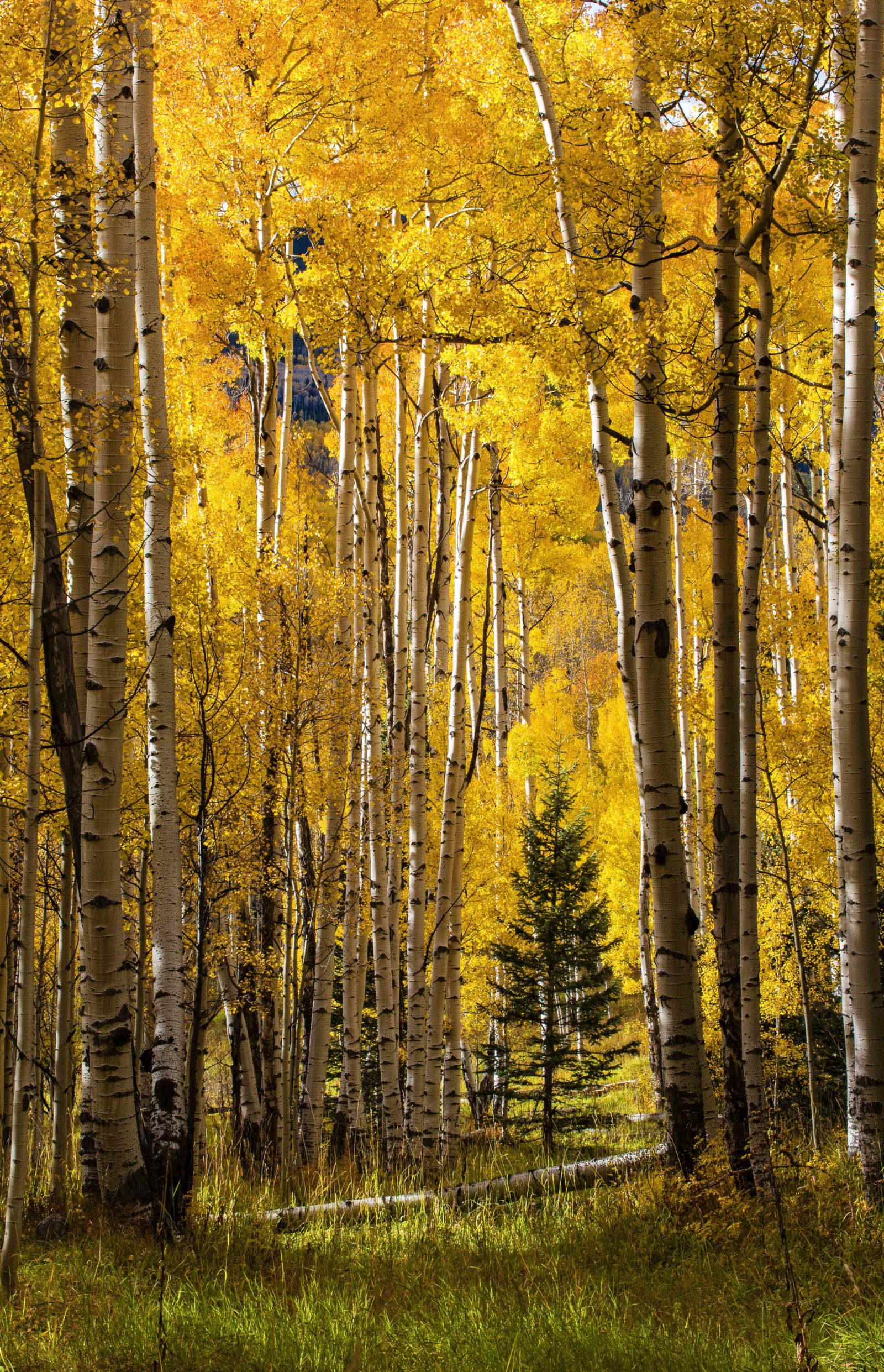 Evergreen among aspen