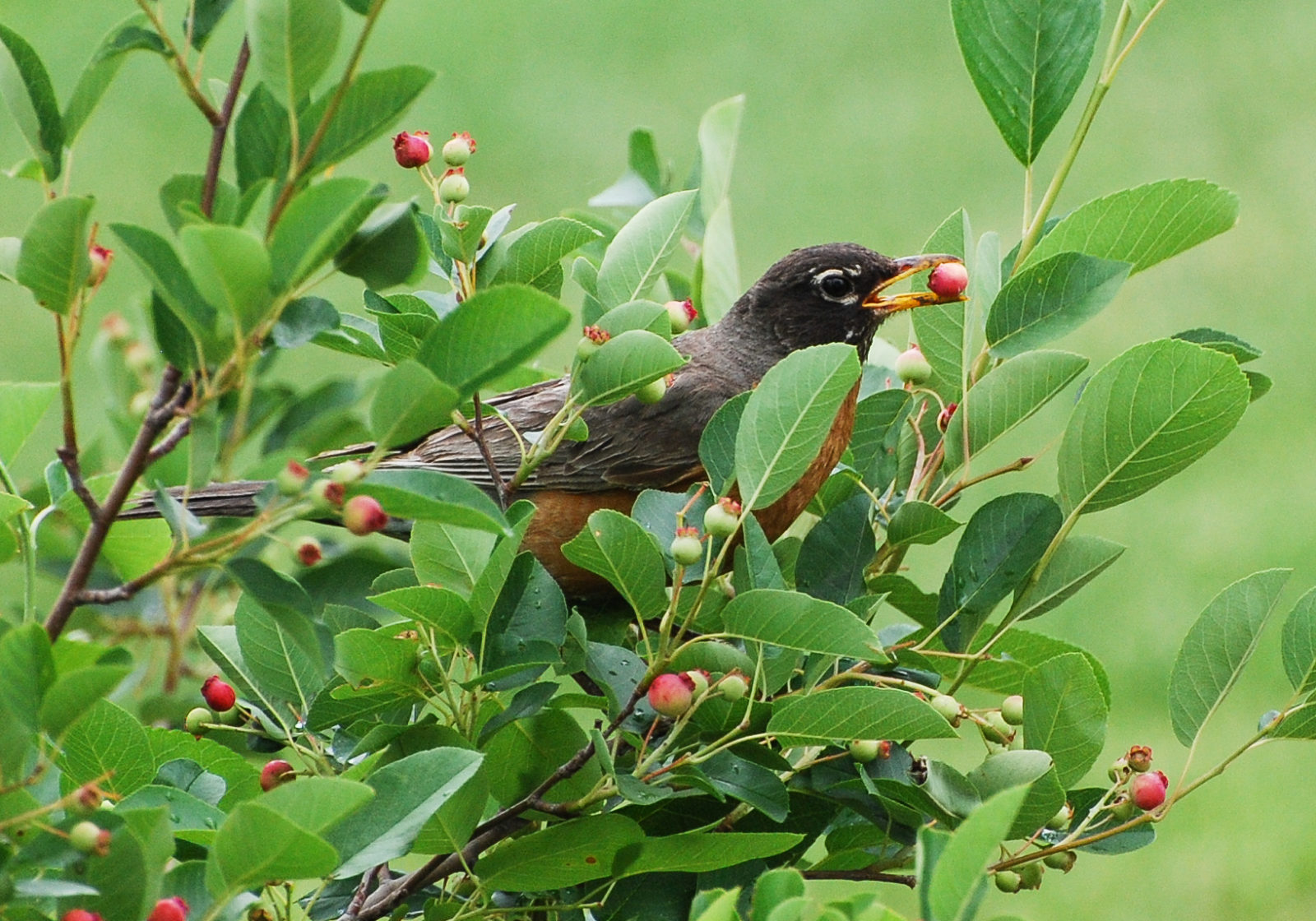 Robin with Serviceberry