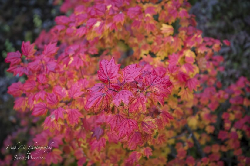 Vibrant Vine Maple Tree – view from the top