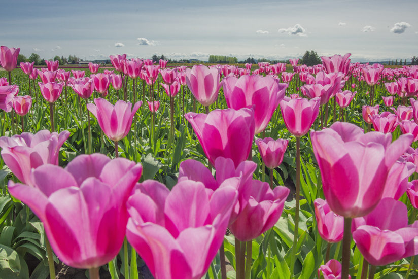 Pink Tulip Fields La Connor, Washington