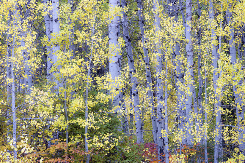 Aspens Cascade Mountains Washington