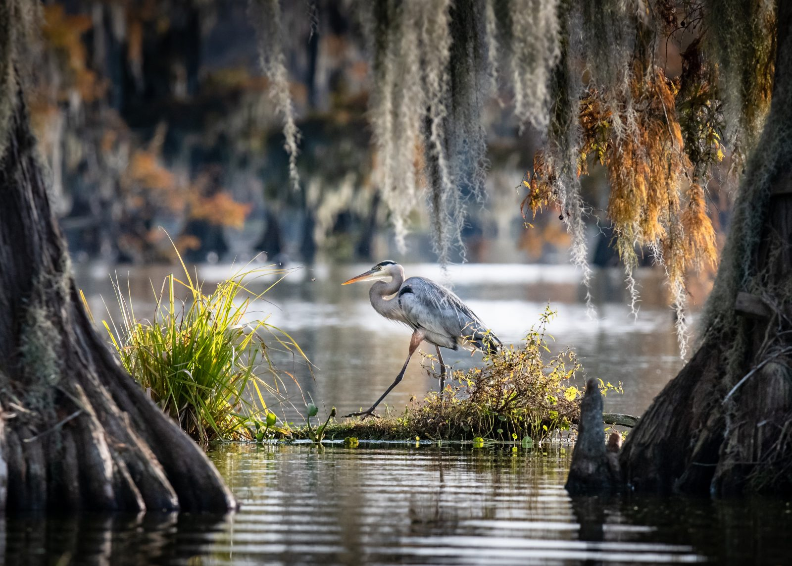 Lake Martin Great Blue Heron