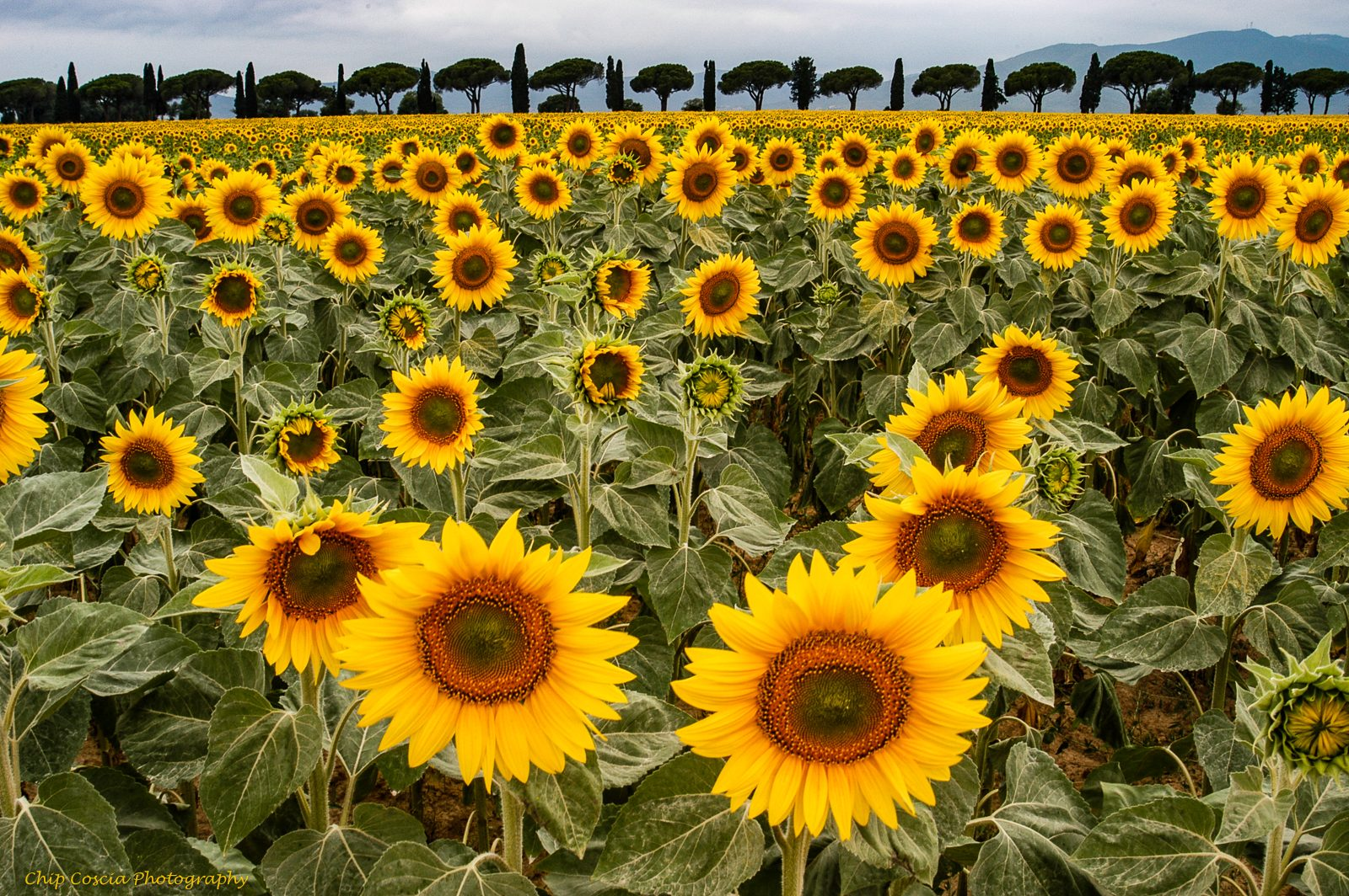 Tuscan Sunflower Explosion