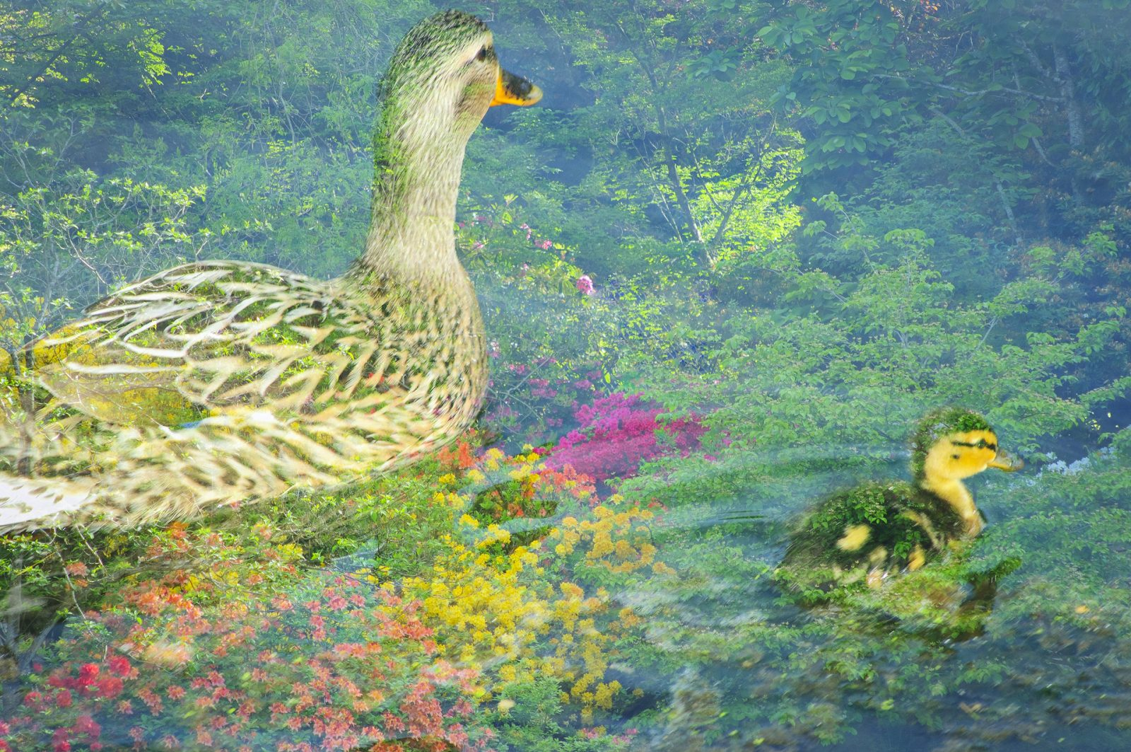 Mother and Duckling at Crystal Springs Rhododendron Garden