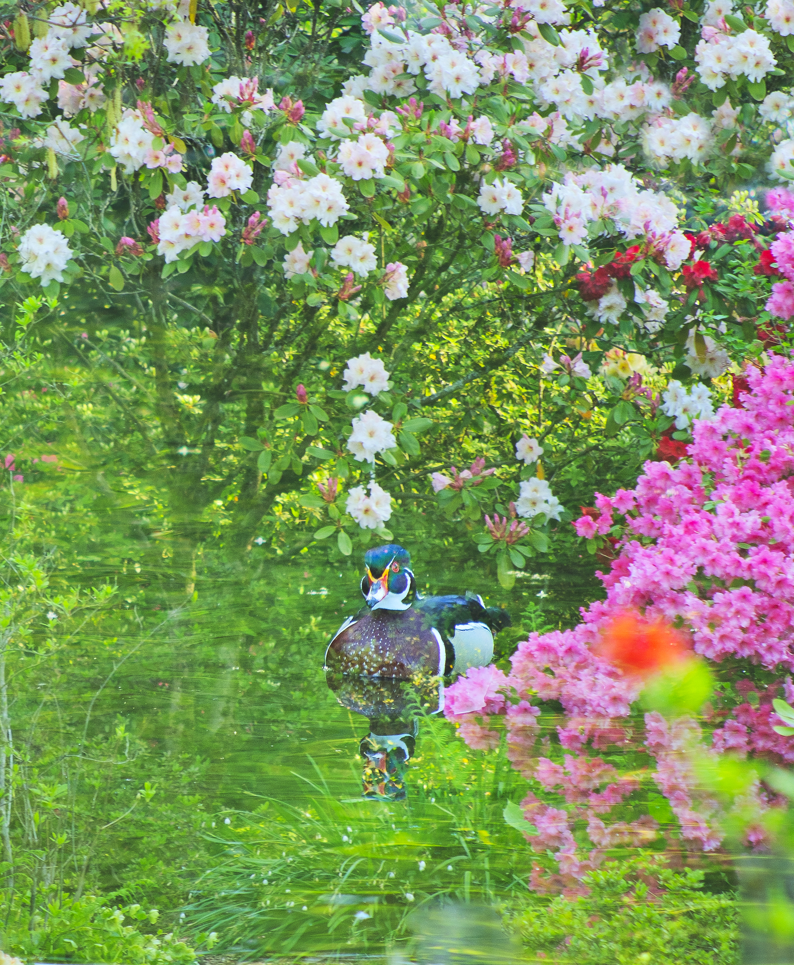 Wood Duck and Rhododendrons