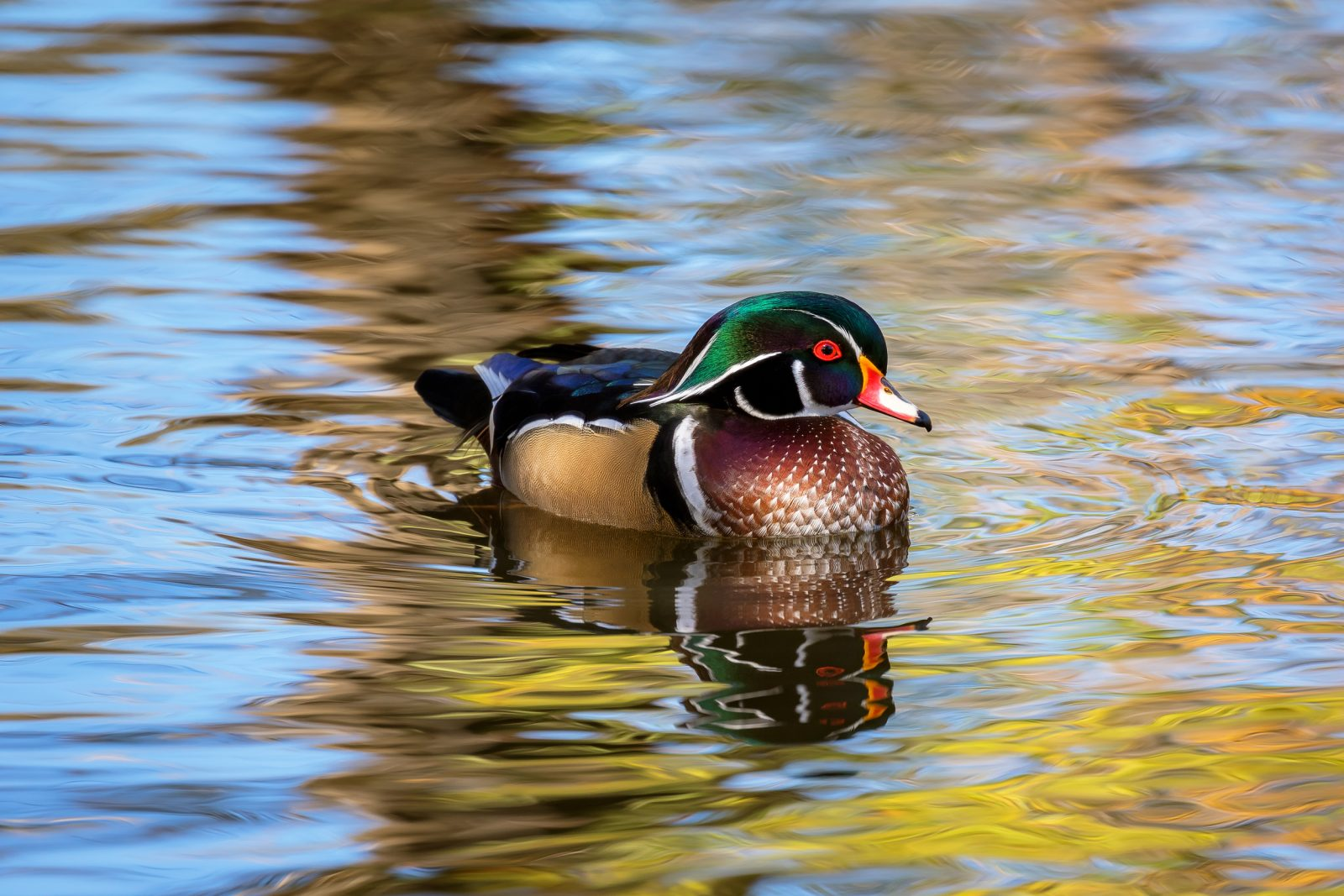 Wood Duck Drake Swimming in the Autumn
