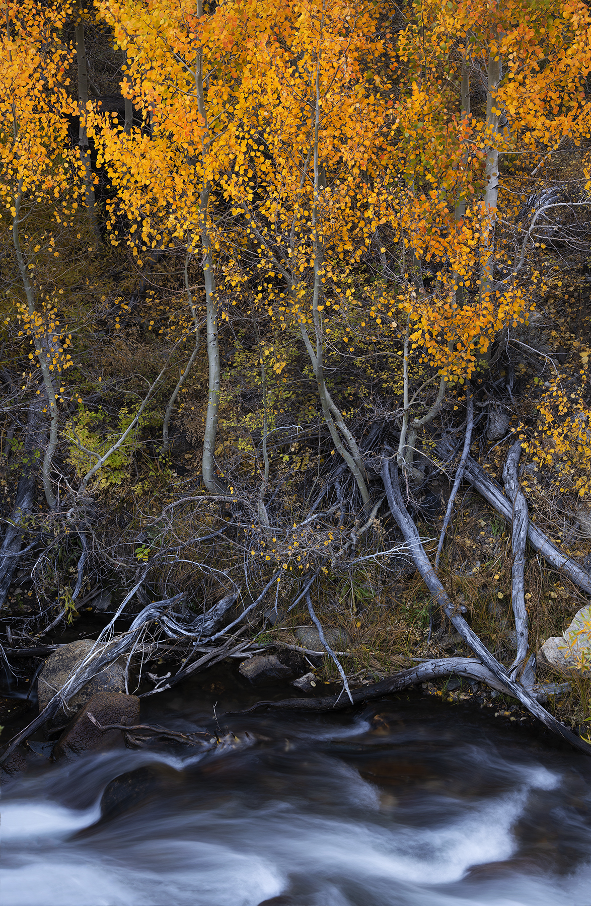Aspens by Bishop Creek, Eastern Sierra