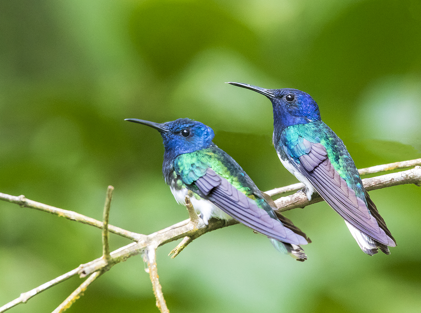 White Necked Jacobins, Panama