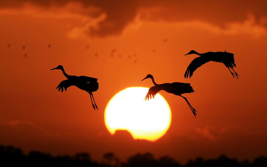 Sandhills Cranes Returning to Roost