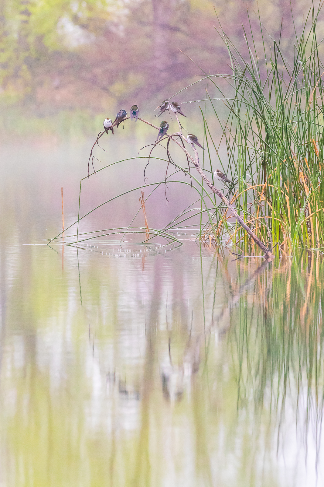 Swallows in the Mist
