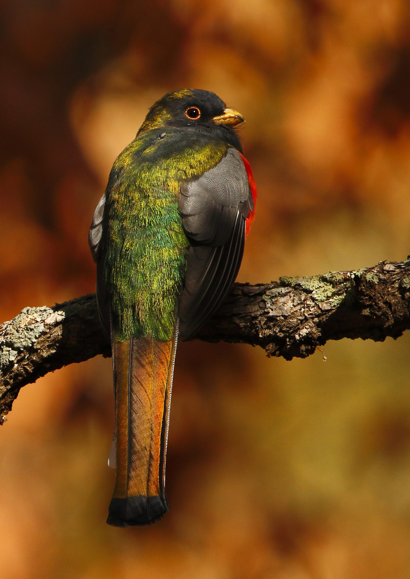 Male Elegant Trogon, Cave Creek Canyon in the Chiricahua Mountains, Arizona, December 10 2017