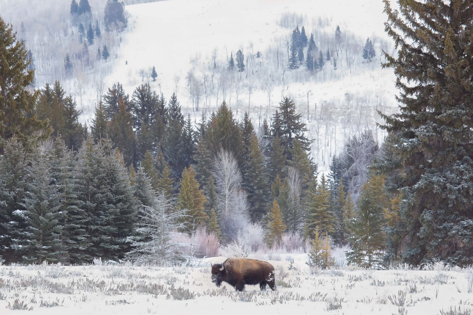 American Bison foraging for food amongst the trees