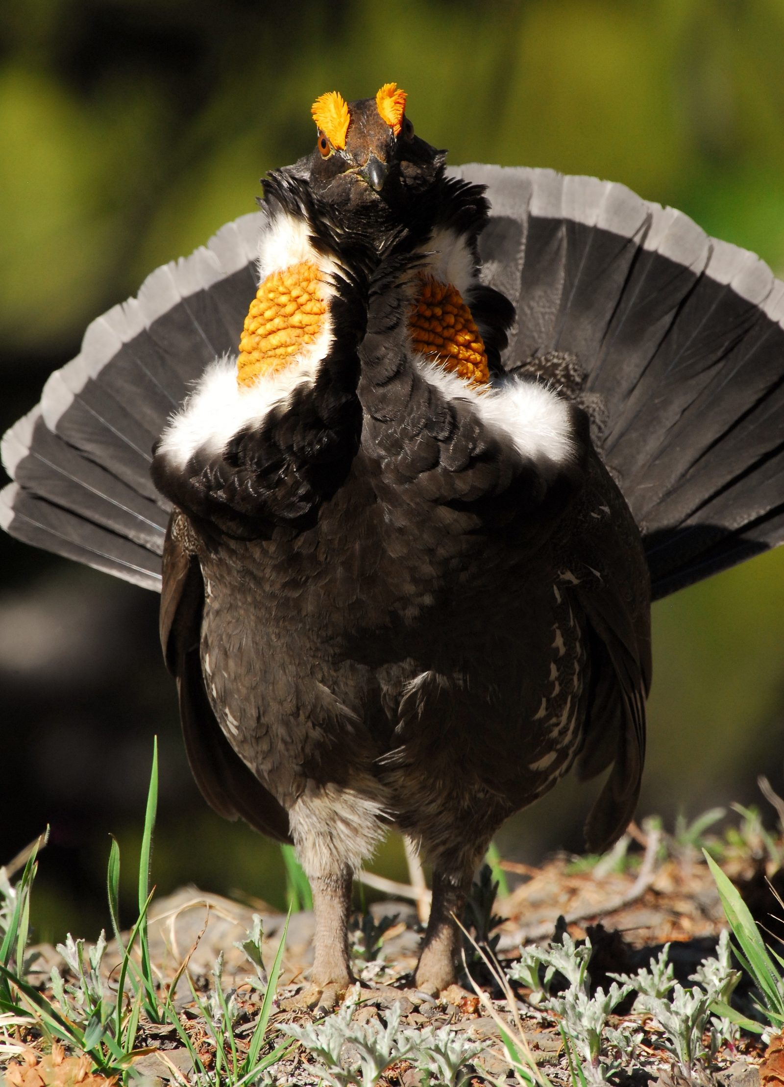 Strutting Sooty Grouse