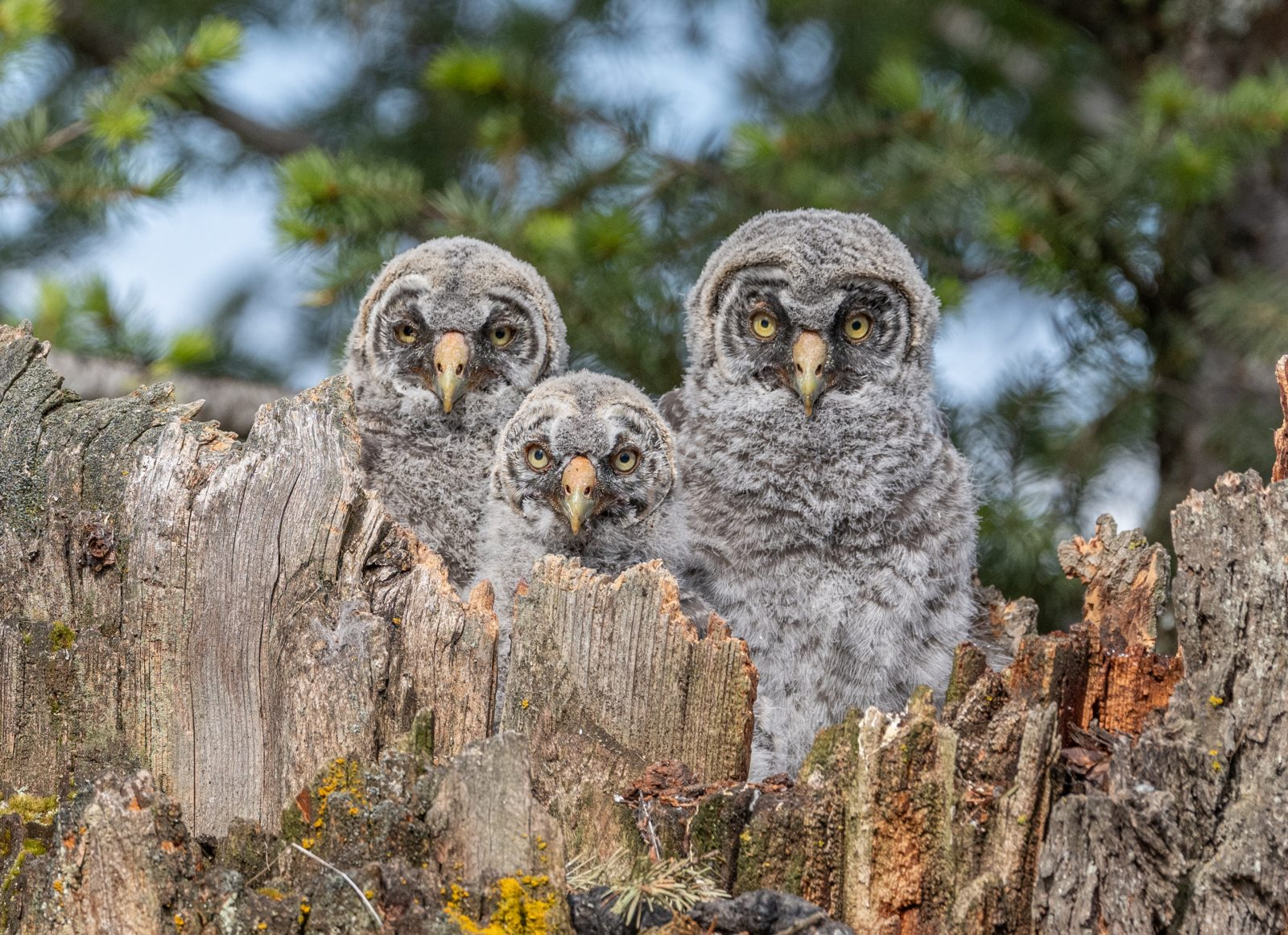 Three Great Grey Owlets