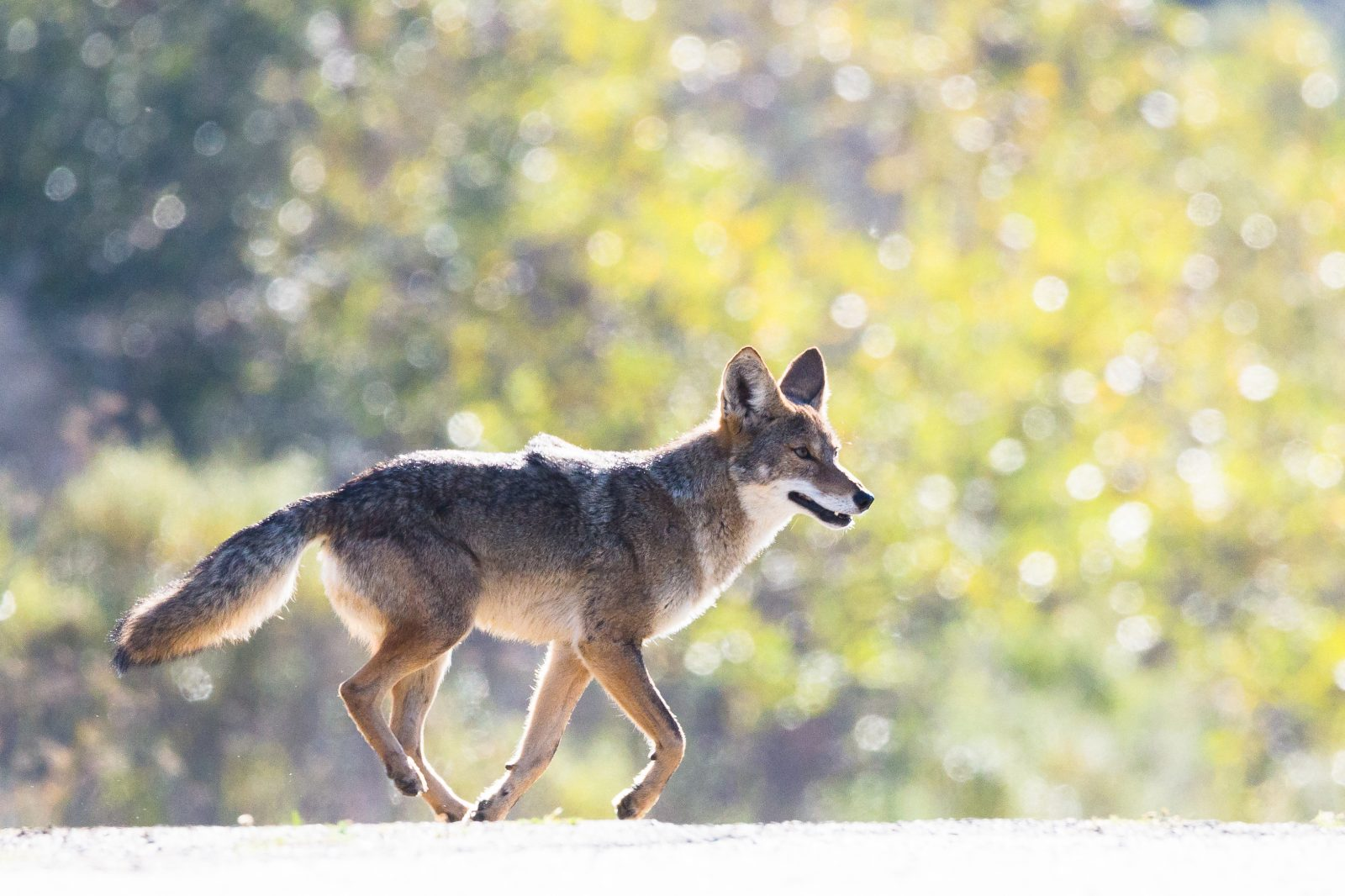 Coyote Trot