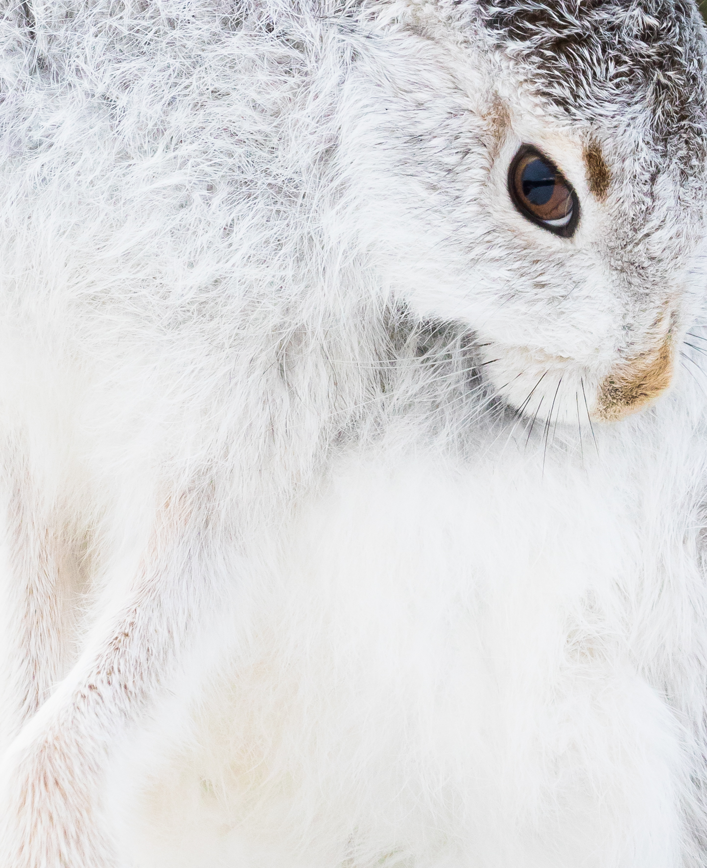 "Mountain Hare (""Lady"") Washing"