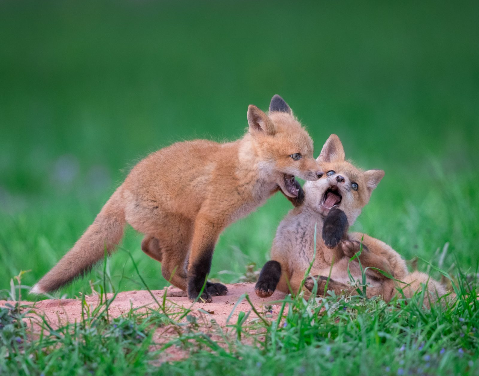 Red Fox Kits Play