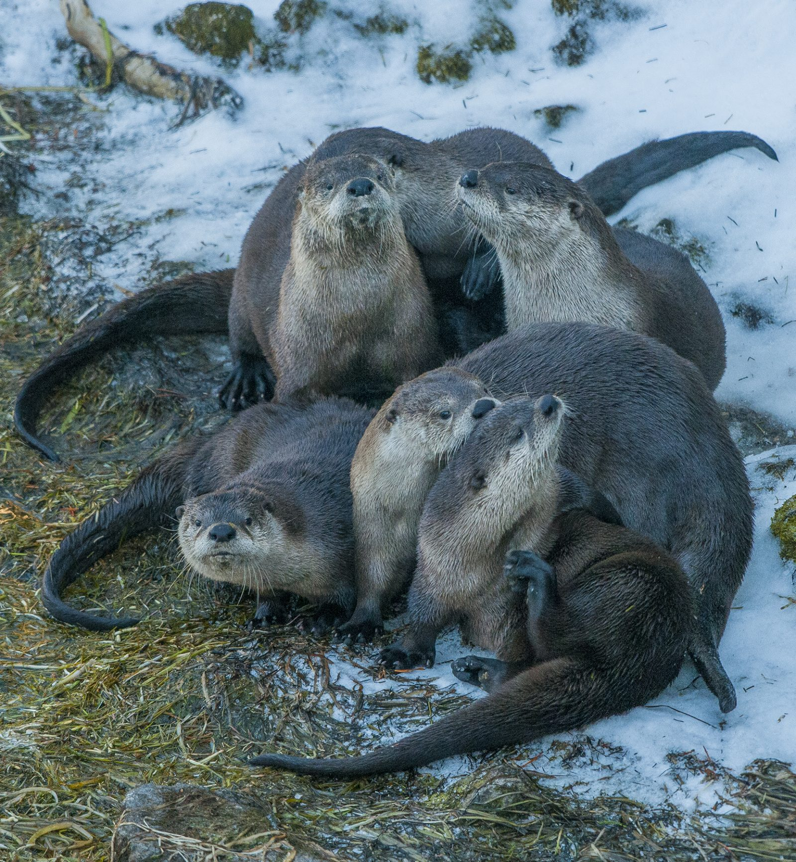 River Otters Playing