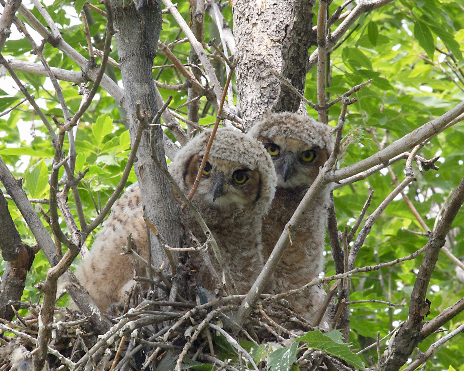 Great Horned Owlets At Harriman Lake