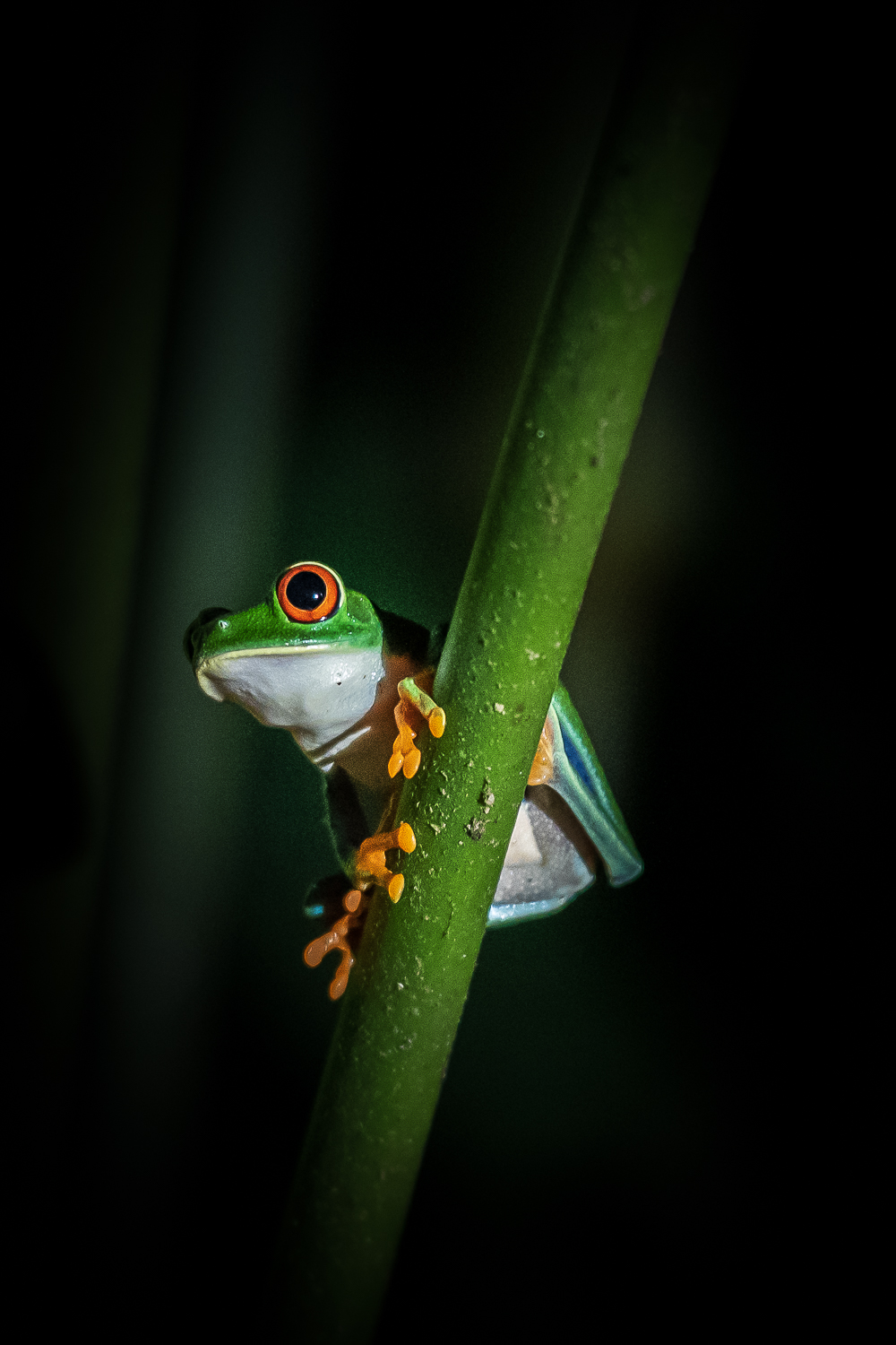 Red-Eyed Tree Frog, clinging to a plant stalk