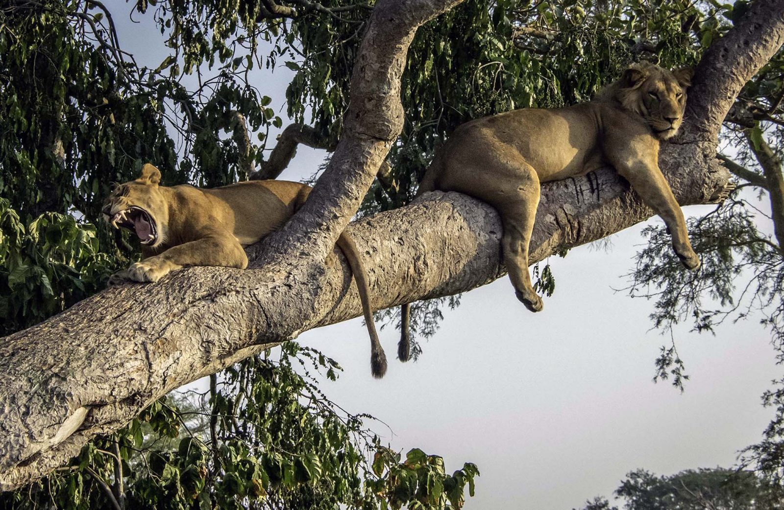 Lion Pair resting in tree