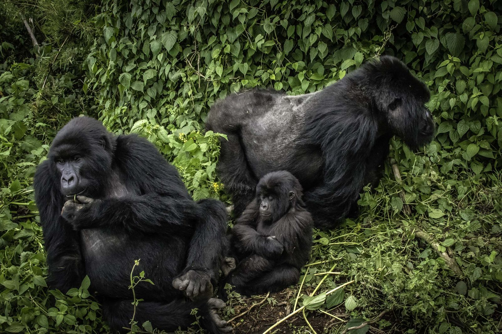 Silver Back Mountain Gorillas with Baby