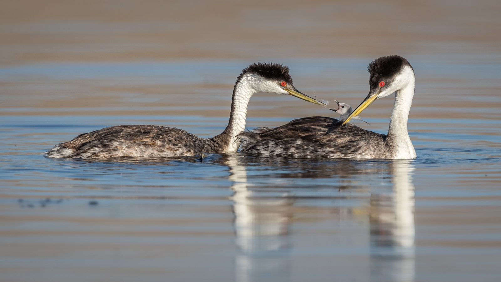 Western Grebes feeding feather to chick