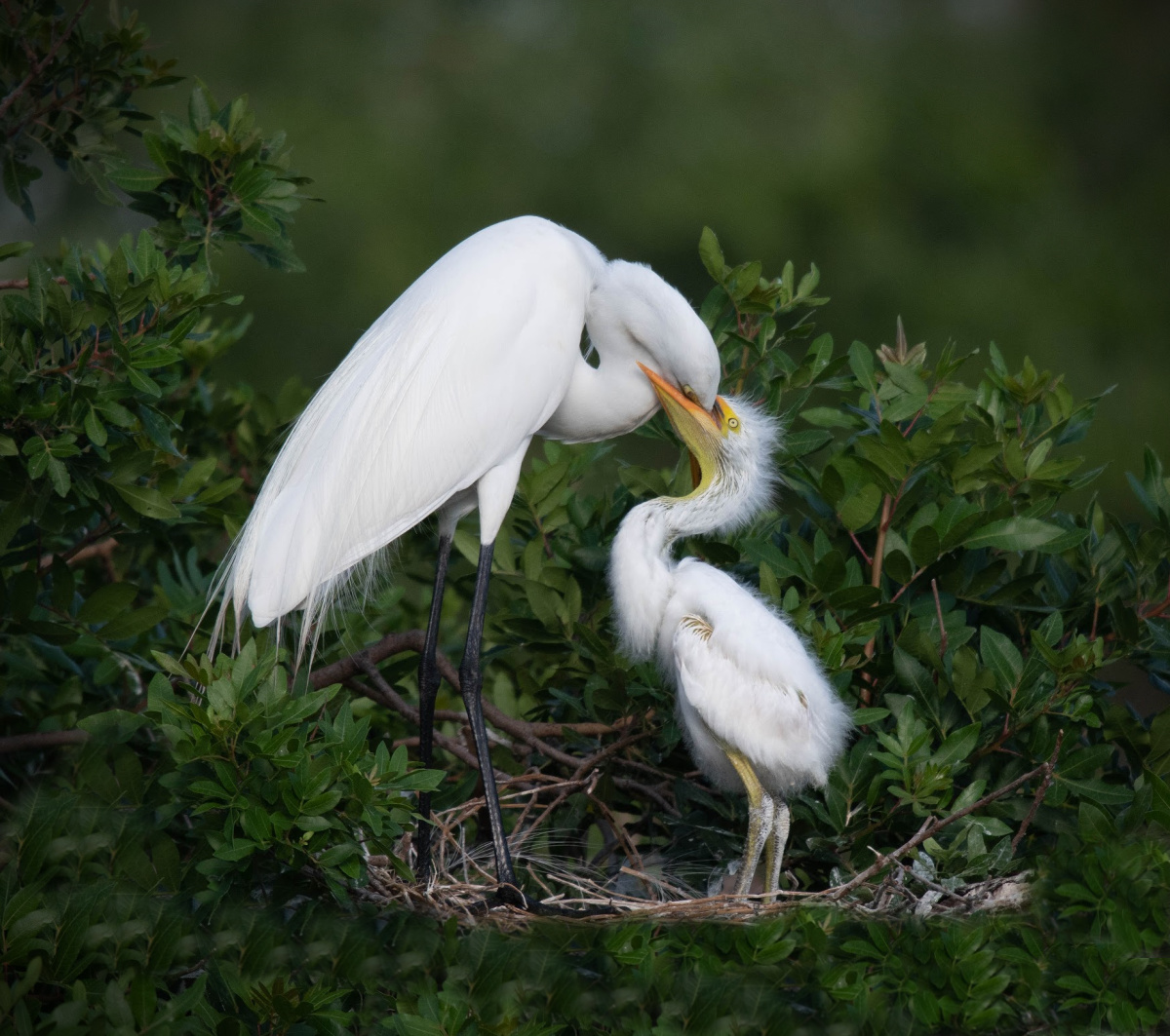 Great Egret Feeding Chick