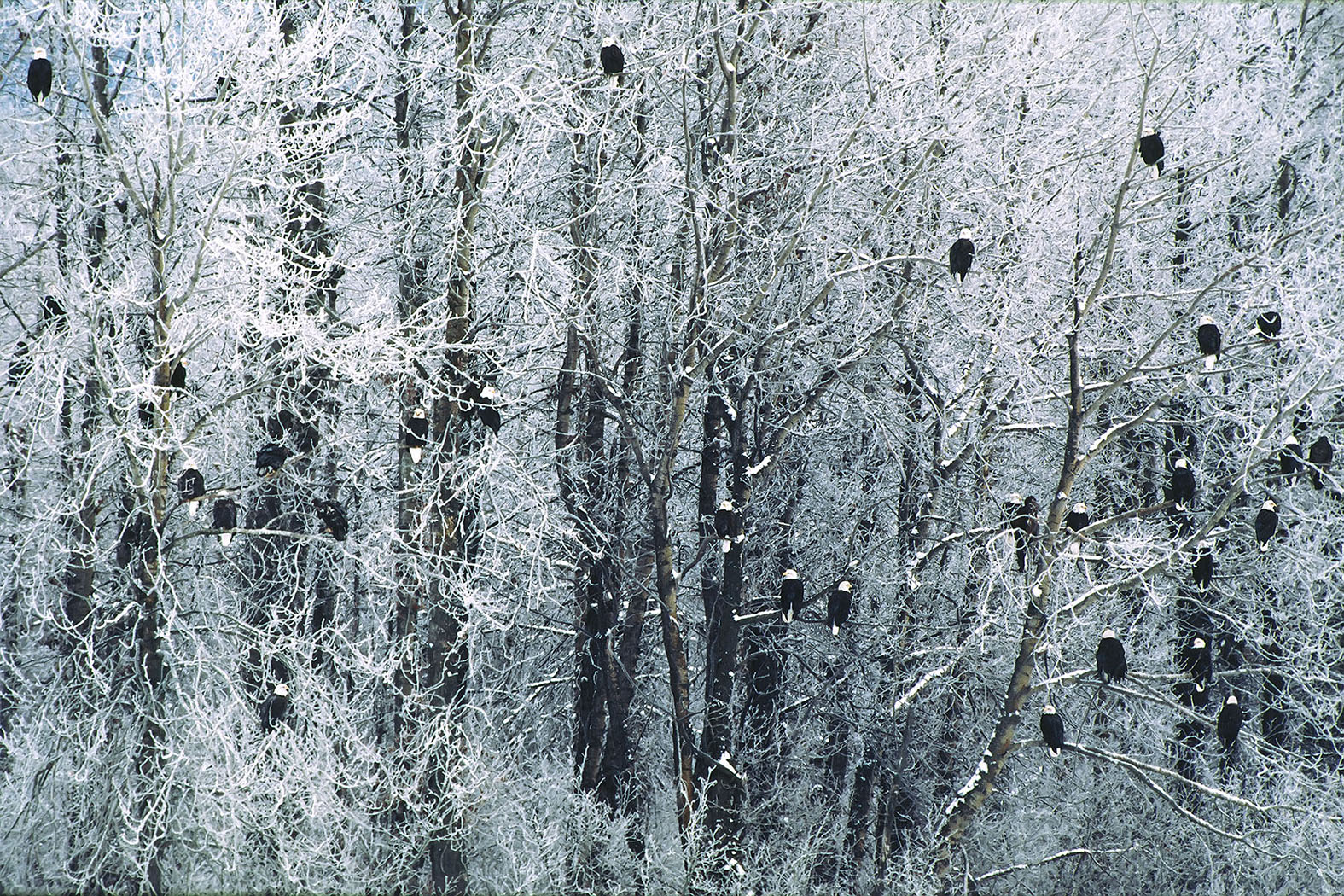 Bald Eagles in New Snow on Cottonwood Trees