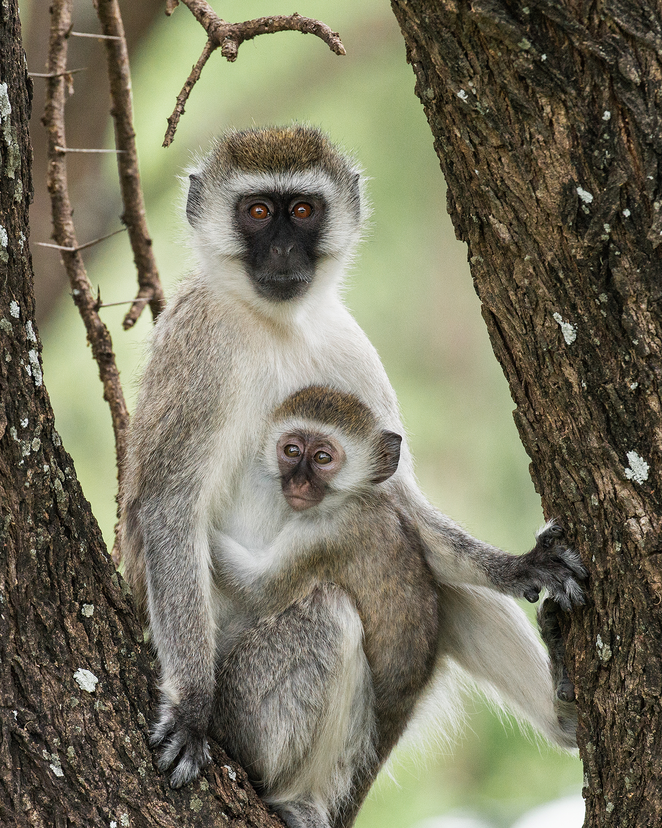 Vervet Monkey with Baby