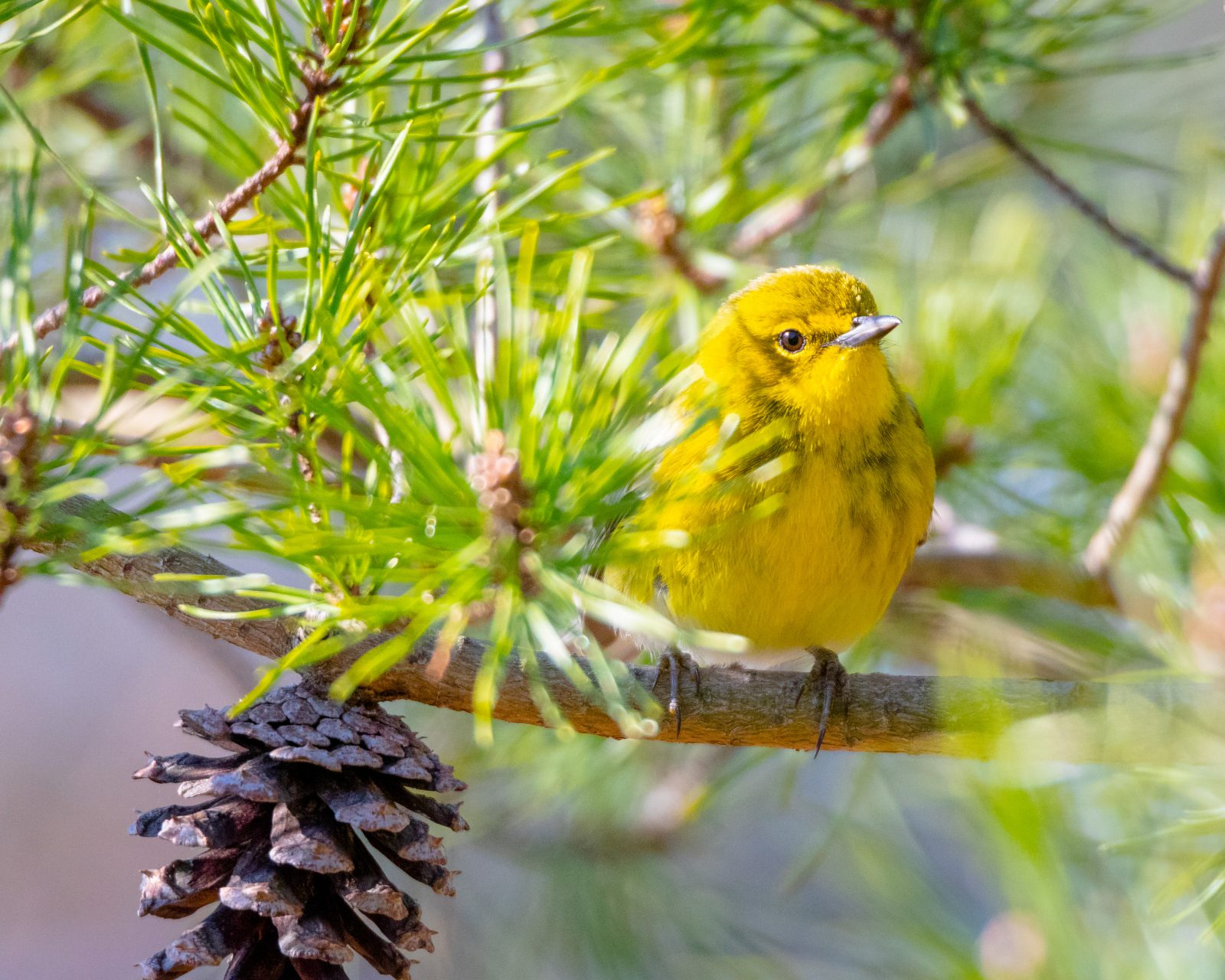 Pine Warbler in a Pine Tree