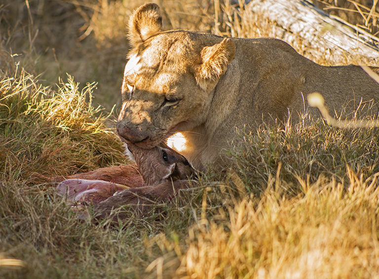 Kiss of the Lioness