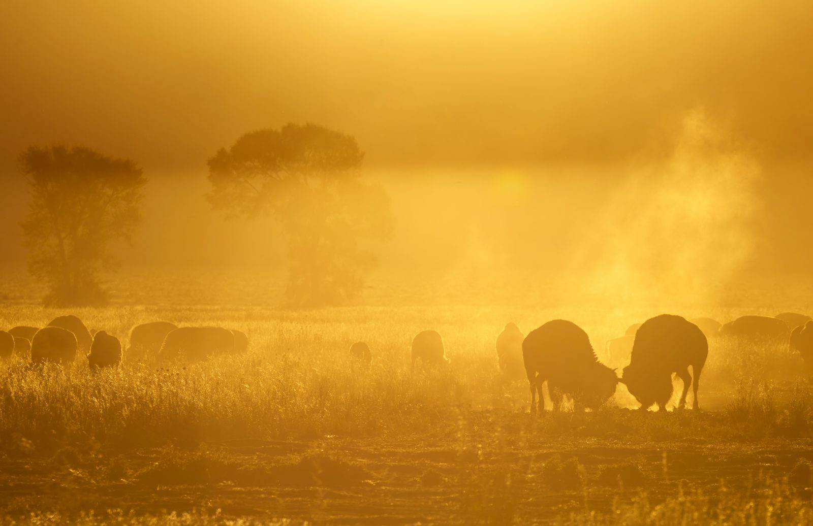 Bison in the Morning Sun