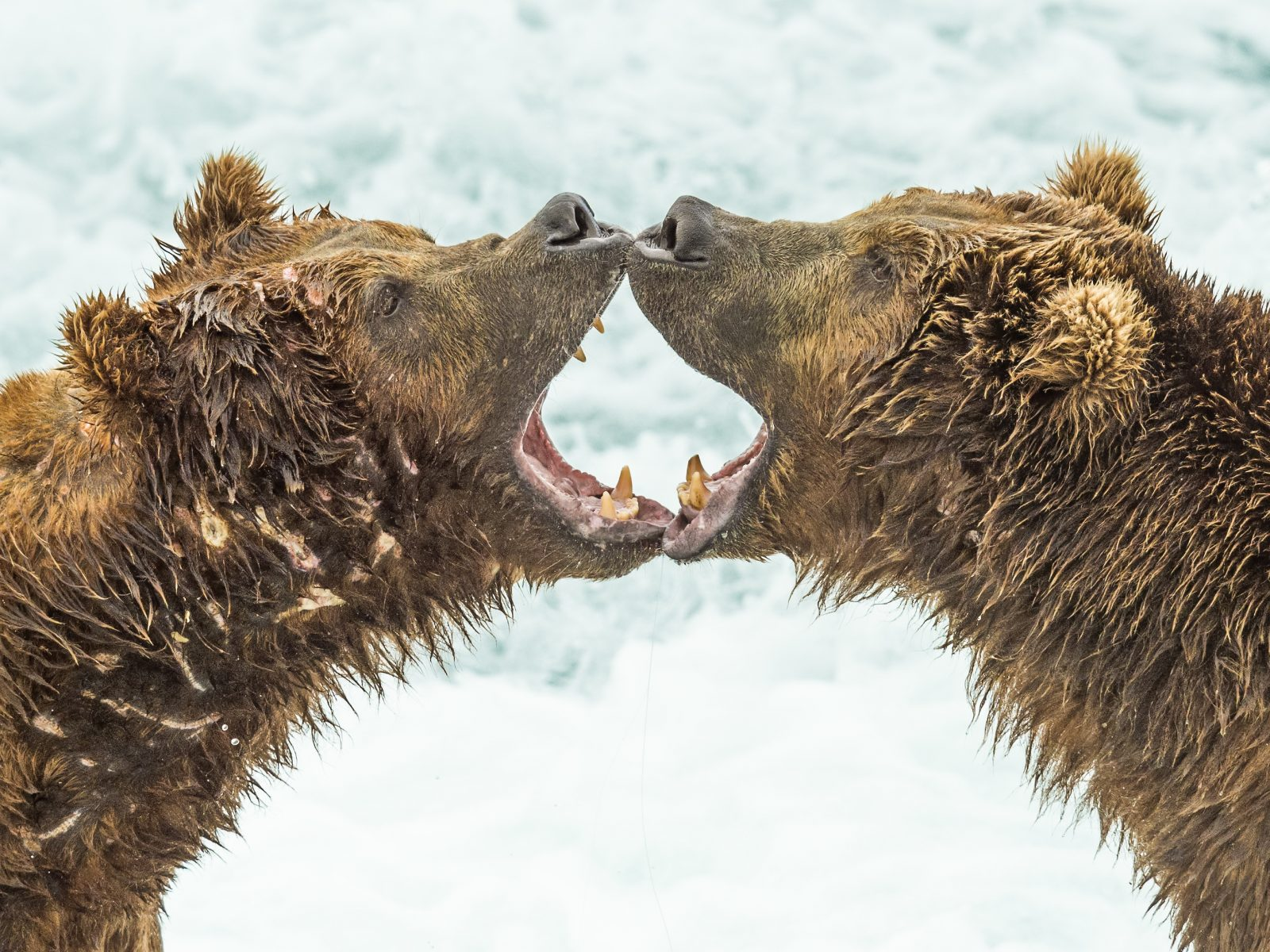 Brown Bear Discussion