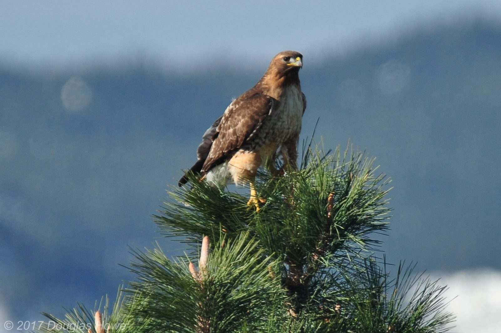 Red Tail Hawk guarding her chicks