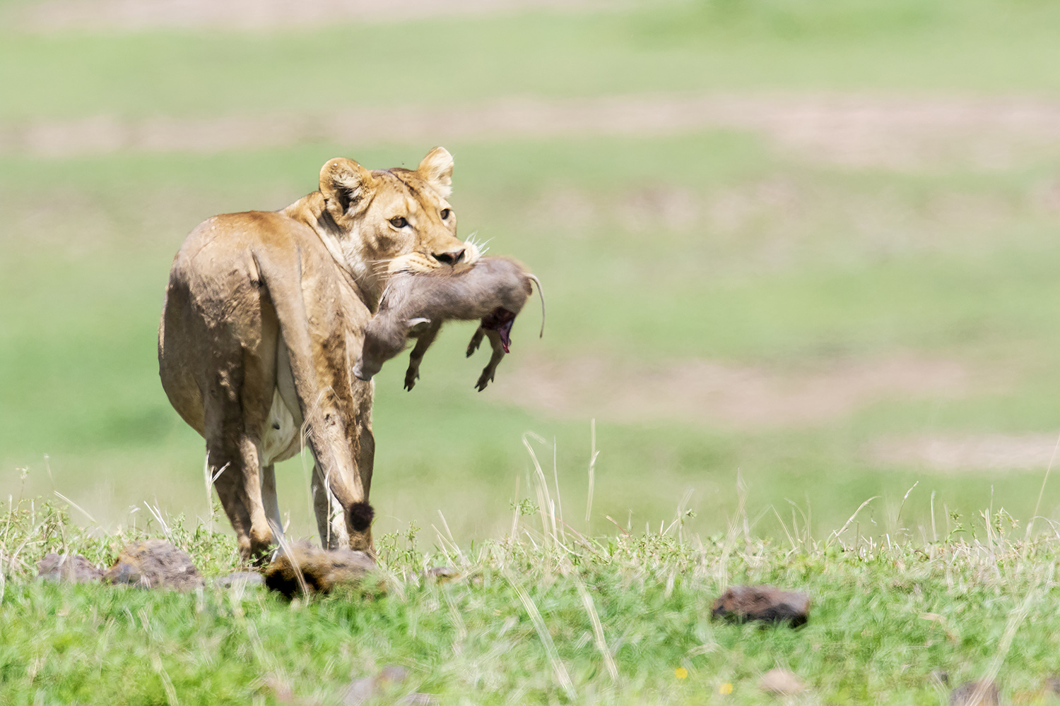 Lion with Warthog Kill