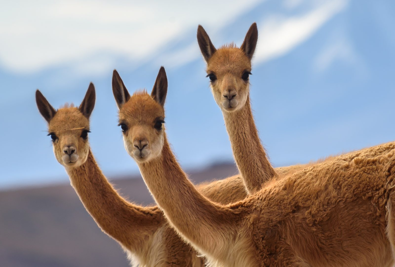 Three curious Vicuñas posing for the photo