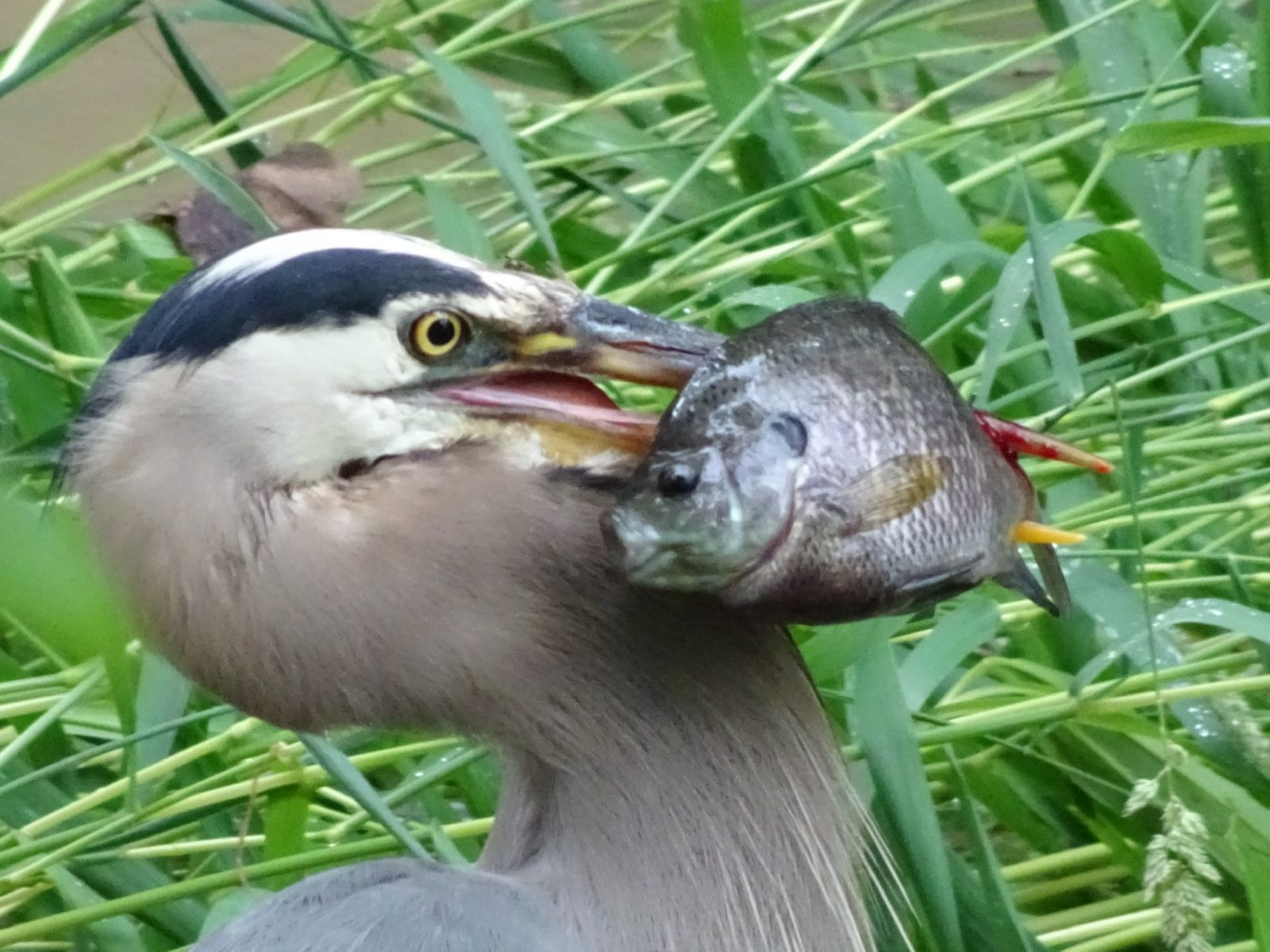 Blue Heron catching a fish