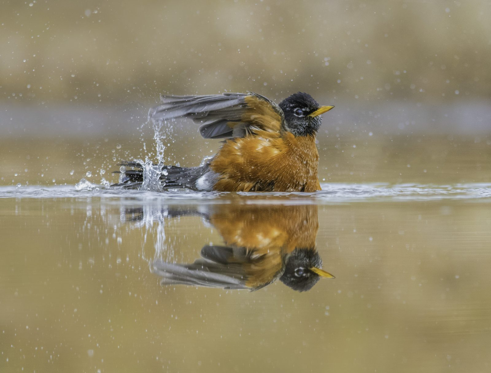 Bathing Robin