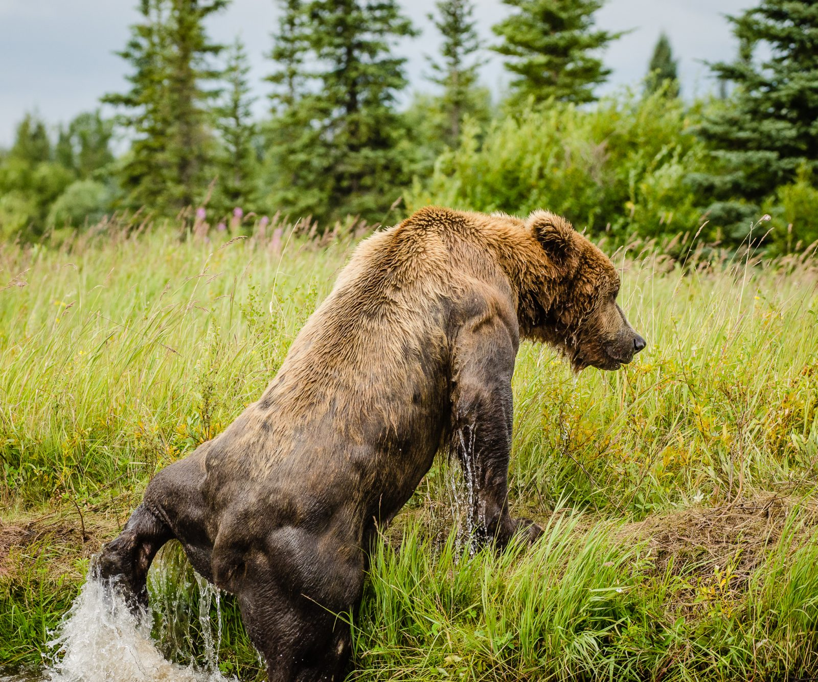 grizzly exiting Alagnak River