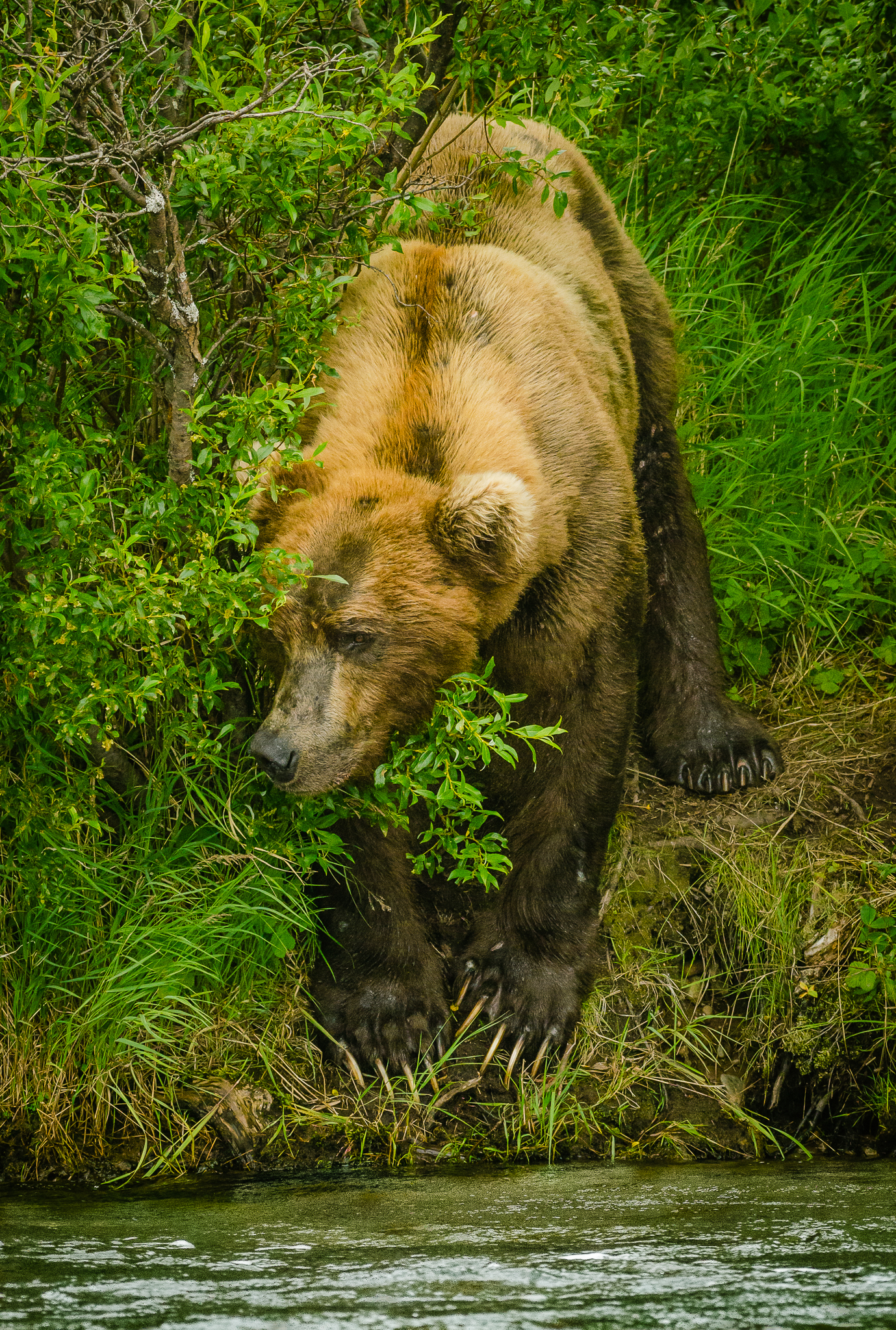 Grizzly bear hiding from salmon