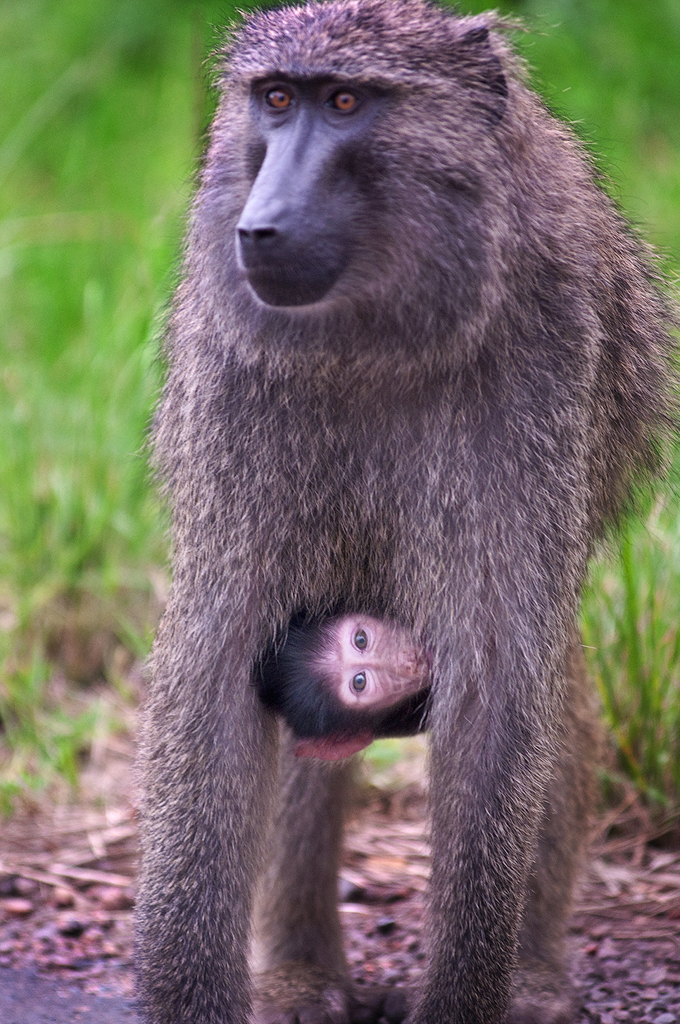 Baboon With Infant Curious But Cautious